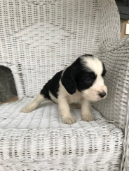 New Springerdoodle Puppies – Furniss Hills Springers & Springerdoodles